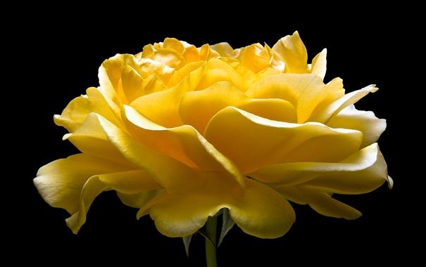 Фото обои макро, природа, роза, лепестки, бутон