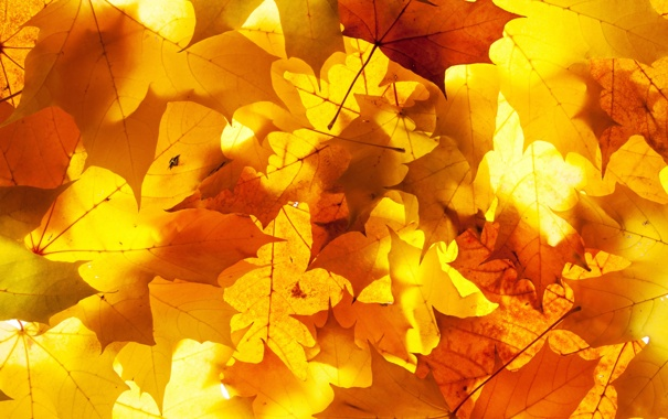 Фото обои осень, листья, свет, кленовые листья, дубовые листья