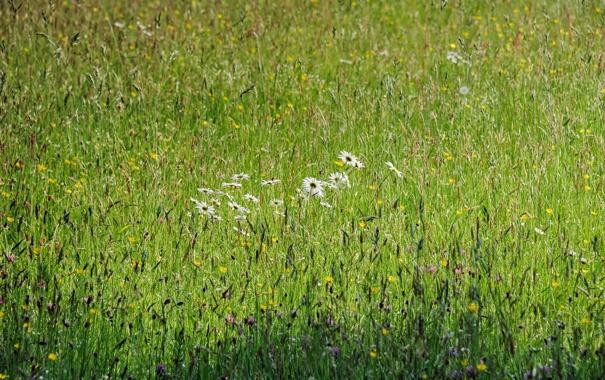 Фото обои поле, лето, цветы, природа