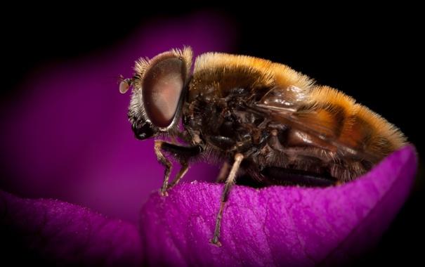 Фото обои цветок, пчела, волосатая