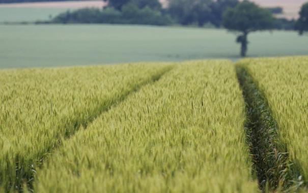 Фото обои дорога, пшеница, поле, небо, пейзаж, природа, урожай