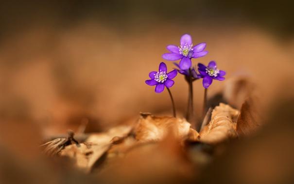 Фото обои осень, цветок, листья, растение, сухие, фиалка, кустик