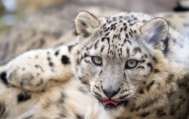 Фото обои язык, кошка, взгляд, морда, ирбис, снежный барс, детёныш