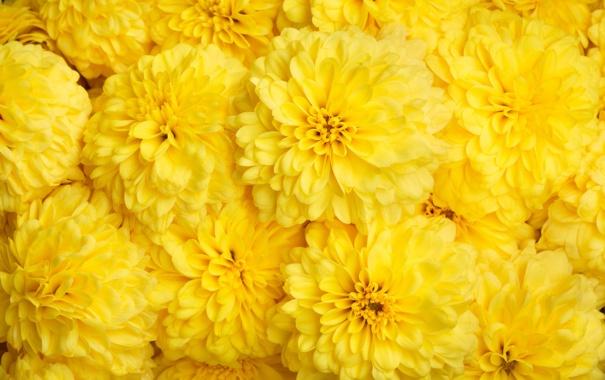 Фото обои цветы, желтые, хризантемы, много, фоен