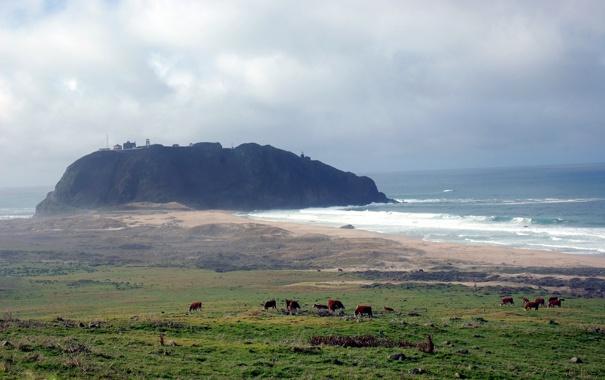 Фото обои море, коровы, пастбище