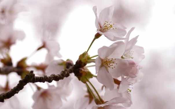 Фото обои вишня, нежность, ветка, весна, лепестки, светлые, сакура