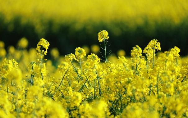 Фото обои поле, лето, природа, рапс