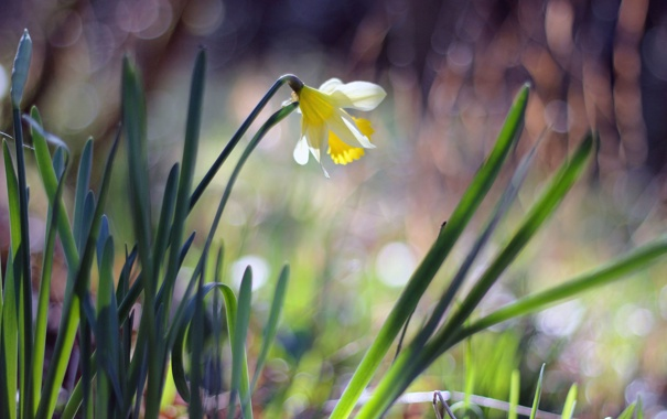 Фото обои цветок, лепестки, нарцисс