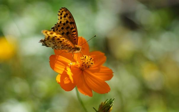 Фото обои цветок, лето, солнце, оранжевый, бабочка, пятнышки