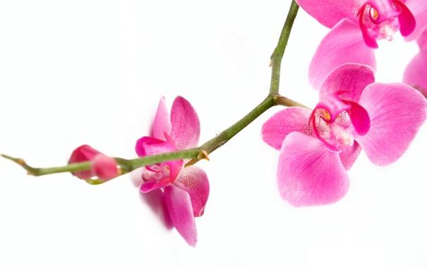 Фото обои макро, цветы, нежность, красота, ветка, лепестки, орхидеи