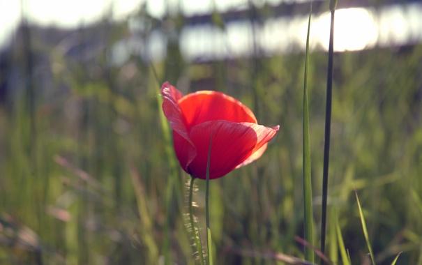 Фото обои цветок, красный, мак