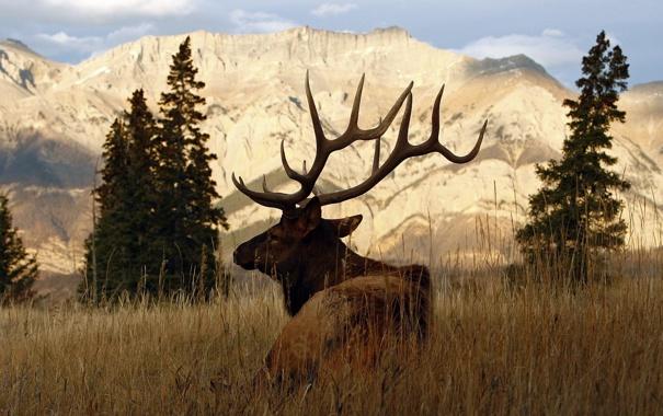 Фото обои олень, рога, самец