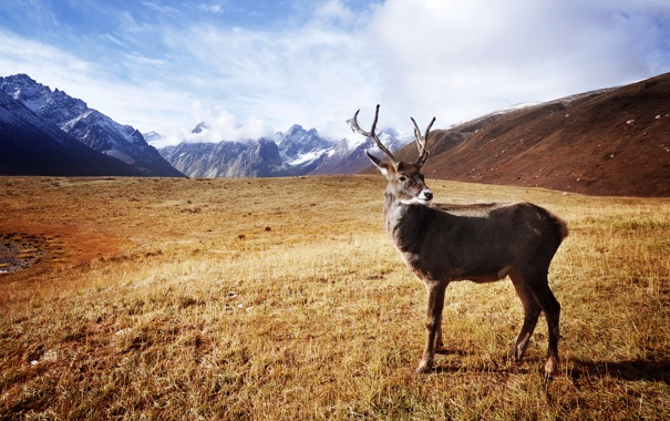 Фото обои трава, горы, олень, рога, сухая