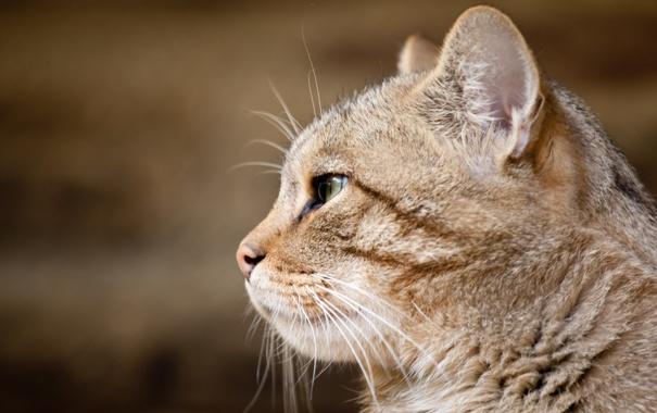 Фото обои морда, профиль, дикий кот, европейская кошка
