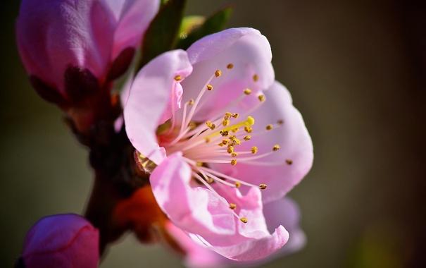 Фото обои макро, цветы, ветка, весна, розовые