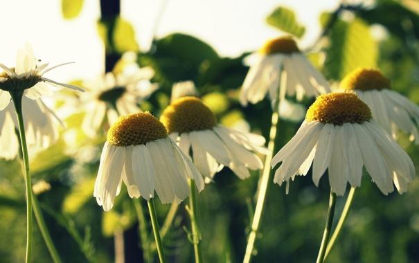Фото обои поле, цветы, фон, widescreen, обои, ромашки, ромашка