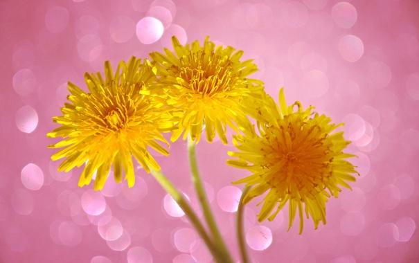 Фото обои весна, блик, лепестки, одуванчик