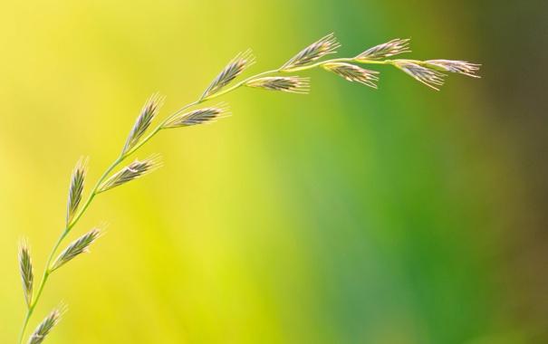 Фото обои свет, природа, растение, колос