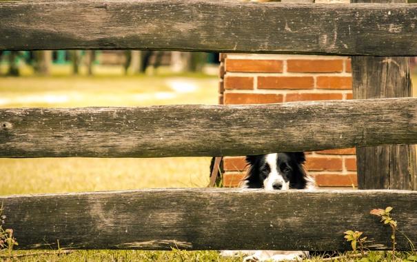 Фото обои поле, трава, глаза, забор, собака
