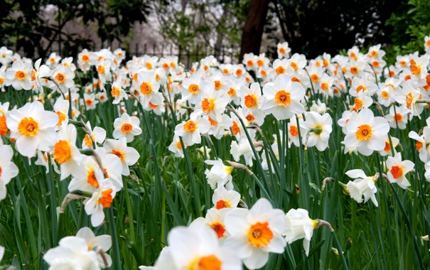 Фото обои цветы, много, нарциссы