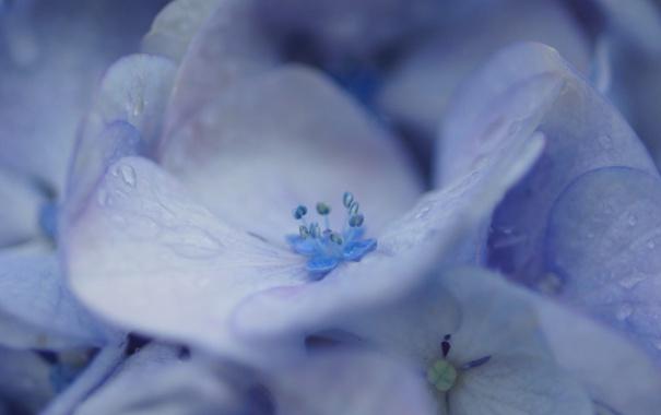 Фото обои капли, макро, роса, лепестки, сиреневая, цветки, гортензия