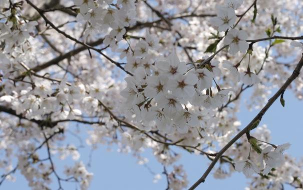 Фото обои весна, небо, вишня, цветение, дерево, белые, сакура