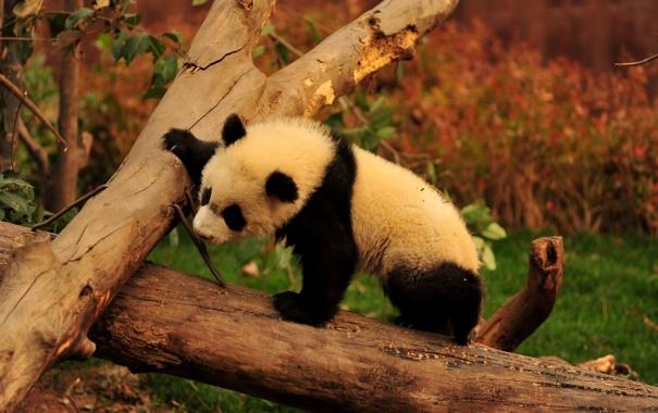 Фото обои деревья, ветки, животное, медведь, панда