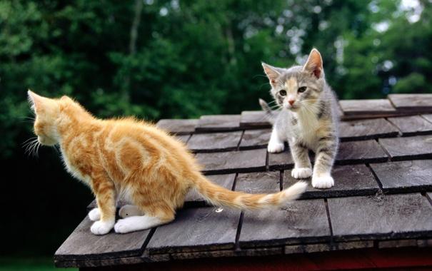 Фото обои крыша, морда, кошки, рыжий