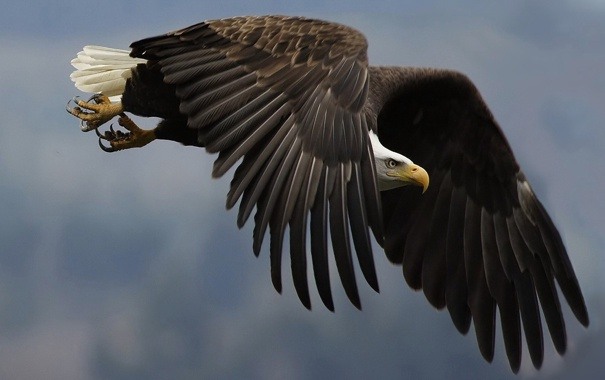 Фото обои птица, крылья, перья, клюв, когти, полёт, взмах