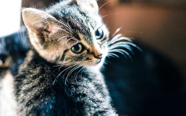 Фото обои взгляд, котёнок, зверёк