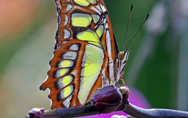 Фото обои бабочка, Макро, насекомое, butterfly, insect, Macro, Malachite Butterfly