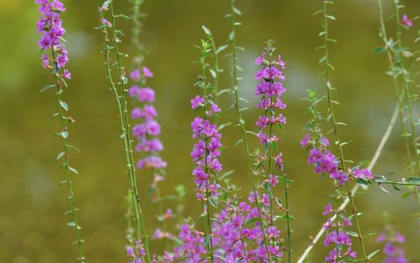 Фото обои макро, цветы, размытость, розовые, полевые, Lythrum salicaria