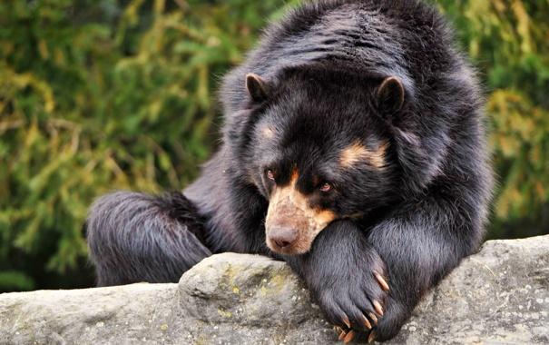 Фото обои глаза, взгляд, черный, шерсть, Медведь, лежит