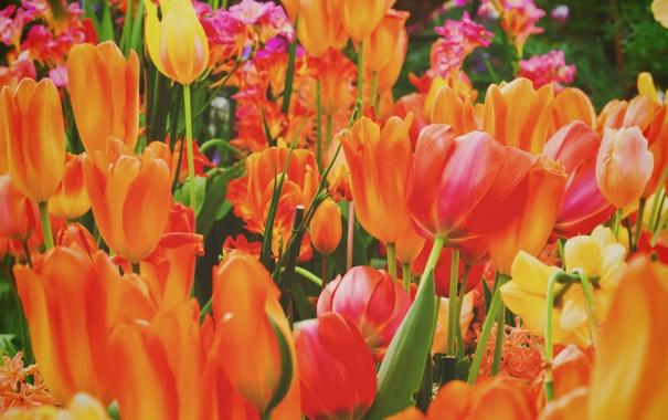 Фото обои цветы, лепестки, тюльпаны, оранжевые