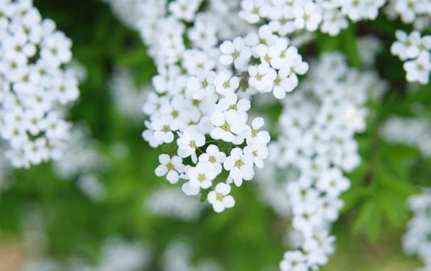 Фото обои белые, цветы, ветки, весна