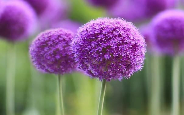 Фото обои макро, цветы, flower, purple, symphony, branch