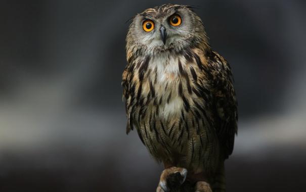 Фото обои глаза, серый, фон, сова, птица