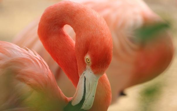 Фото обои розовый, птица, клюв, фламинго