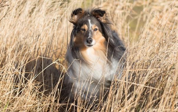Фото обои взгляд, природа, собака
