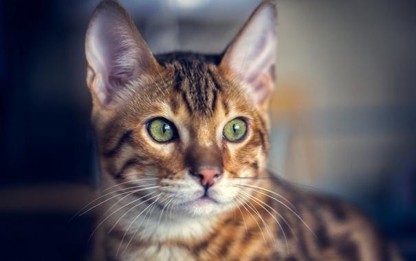 Фото обои кот, усы, взгляд, фон, уши