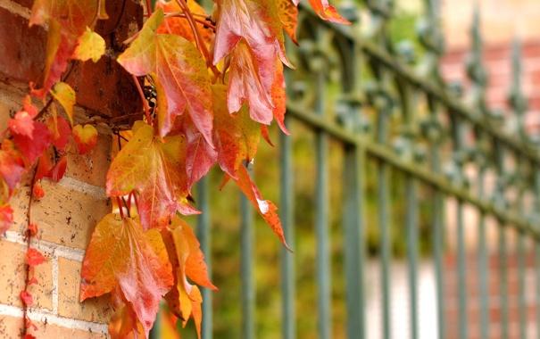 Фото обои листья, забор, ограда, красные, осенние, плетущееся, рстение