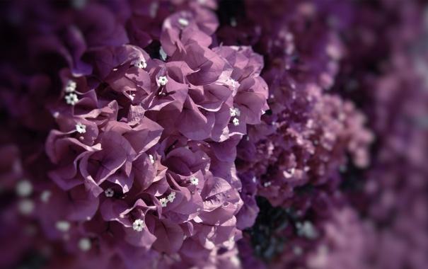 Фото обои фиолетовый, макро, цветы, сиреневый, цвет, лиловый, бугенвиллея