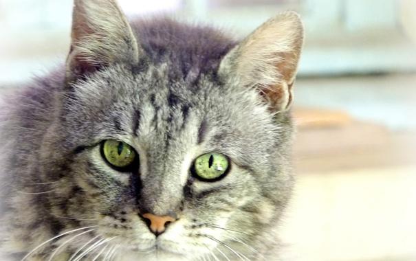 Фото обои кошка, кот, взгляд, серый, портрет, размытость