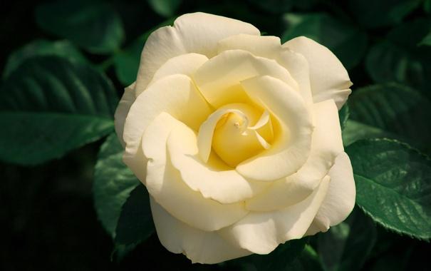 Фото обои цветок, листья, макро, природа, роза, растения, лепестки