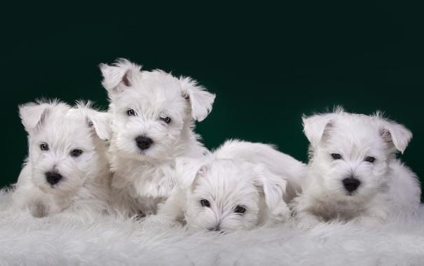 Фото обои щенки, белые, квартет, милые