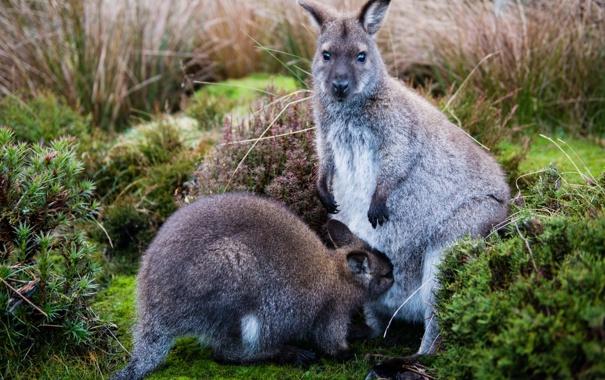 Фото обои мох, кенгуру, детёныш