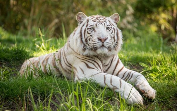 Фото обои кошка, трава, белый тигр