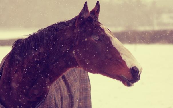 Фото обои зима, снег, лошадь