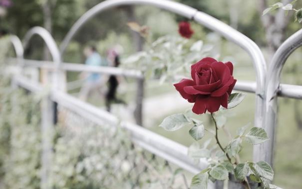 Фото обои цветок, забор, роза