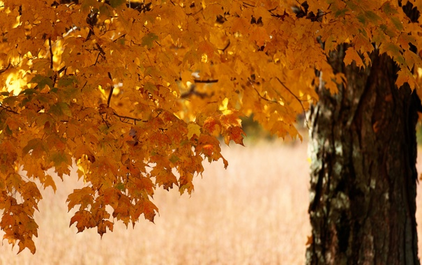 Фото обои осень, листья, дерево